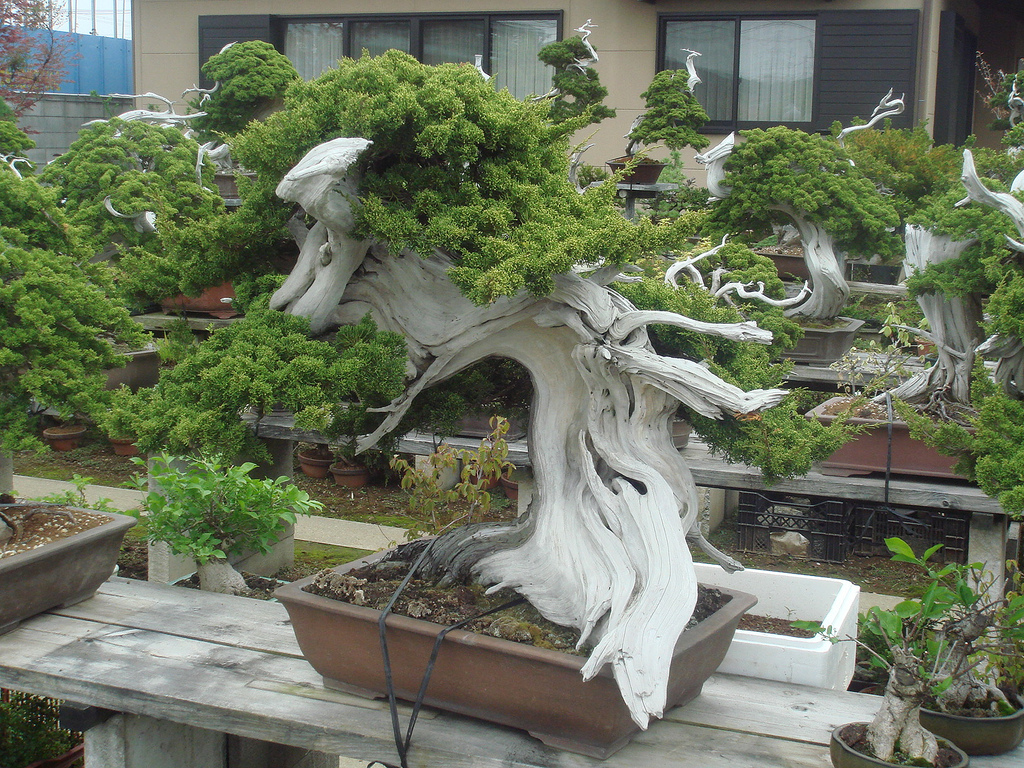 Bonsai Beautiful Dwarf Trees From Japan Kusuyama Tree Wiring Video Make Any Questions Leave Your Comments Share Pictures And Videos Or Just Say Hello Feel Free To Join Us At Our Facebook Made In Online