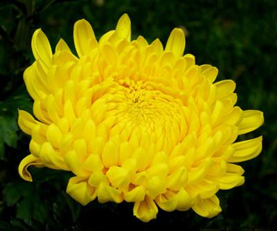 Kiku Chrysanthemum Japan Symbol Kusuyama